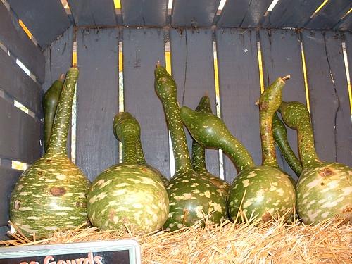 Goose Gourds