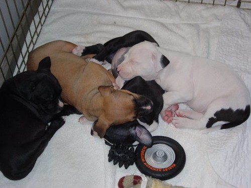 pitbull puppies pictures. Pile o#39; Pit Bull Puppies