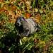 Hoary Marmot ~ Mt. Rainier National Park