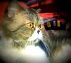 chicken nov 2553 (som300) Tags: cat pet housecat cameraphone motorola zn5 chicken