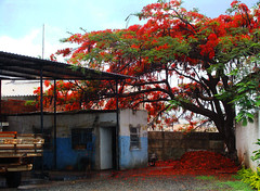 Poinciana Tree Season (osvaldoeaf) Tags: flowers autumn red brazil sky orange house tree green nature leaves truck spring flamboyant goinia gois banches poinciana wonderfulworldofflowers blossomspetals
