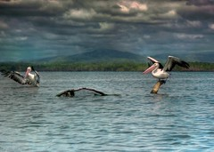pelicans (-hedgey-) Tags: lake bird nature clouds wildlife pelican hdr tuggerah mygearandmepremium mygearandmebronze mygearandmesilver mygearandmegold mygearandmeplatinum