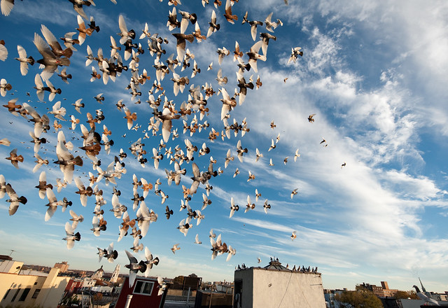 Willies Pigeons in flight: Bushwick Brooklyn