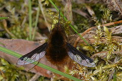 Bombylius major - Grote wolzwever - Greater bee fly (henk.wallays) Tags: major fly large bee flies greater mouche grote diptera vlieg bombylius diptere wolzwever merendree20200327