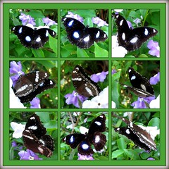 Photomontage showing the varied poses of the Great EggFly (Blue Moon Butterfly)