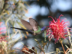 Beija-flor Tesoura (Eupetomena macroura) - Swallow-tailed-Hummingbird 24 09-06-07 075 - 9 (Flvio Cruvinel Brando) Tags: brazil naturaleza bird nature birds animal animals braslia brasil hummingbird bokeh natureza passarinho pssaro urbannature brazilian hummingbirds pajaro animais pssaros brasileiro beijaflor colibri colorida naturesfinest picaflor blueribbonwinner beijaflortesoura colibris featheryfriday eupetomenamacroura beijaflores picaflores animaladdiction swallowtailedhummingbird flviocruvinelbrando