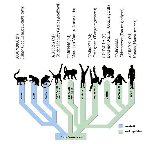 Family tree of primates 2011