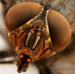 Big fly3 (M.ALKHAMIS) Tags: fly big    amazingtalent  mywinners malkhamis