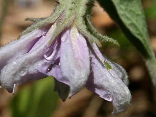 aphid on eggplant flower
