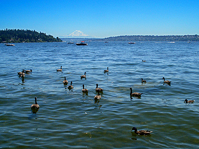 Geese, Ducks, and Mt Rainier