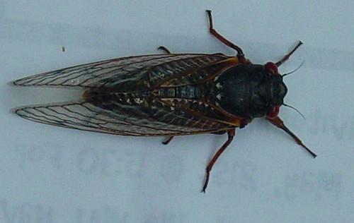cicada-top