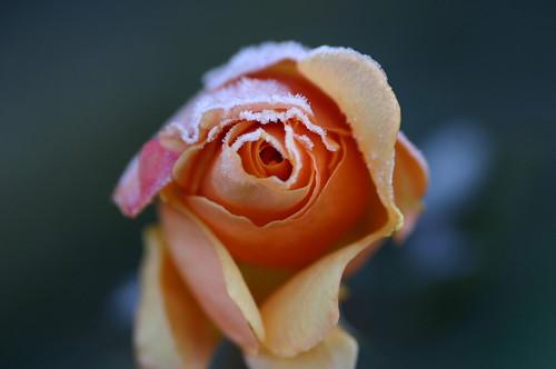 Frozen Peach Rose