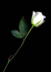 White Rose - by *clairity*