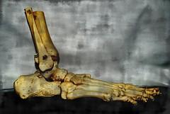 LECCION DE ANATOMÍA (ABUELA PINOCHO ) Tags: pie muerte esqueleto reflexion anatomia alegoria tetrico pordentro abigfave podologo isawyoufirst diamondclassphotographer flickrdiamond asisomos a3b seeorwrite asiseremos