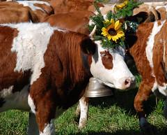 The Sunflower Queen (usbdevice) Tags: flower nature fleur schweiz switzerland kuh cow cows suisse bell natur sunflower fribourg blume freiburg cloche khe vache vaches sonnenblume sense plaffeien glocke nikond80 dsalpe alpabzug singine sensebezirk plafayon