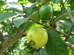 Adjuntas, Puerto Rico / Guayaba / Guava / Psidium guajava