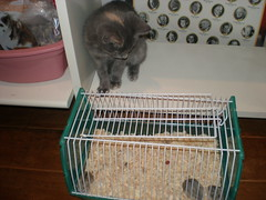 Halo and the babies (PetFoster) Tags: foster hamsters
