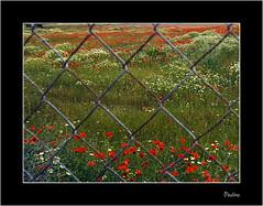 Propiedad privada (Paulina58) Tags: naturaleza primavera canon alicante campo valla 2010 paulina elche amapola propiedadprivada matola flickrestrellas afali paulina58