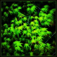 Young green maple leaves (Hopeisland) Tags: new trees plant green nature leaves japan spring maple april colourful 2010   explored