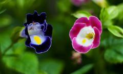 hello -  (.rexguo) Tags: hello pink blue flower macro