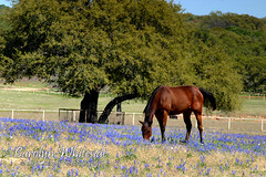 Bluebonnets and Brown Horse