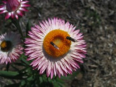 Rosy Everlasting with native bees (Mellifera K) Tags: daisy everlasting
