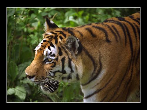 Hermoso e imponente Tigre Manchurian de China