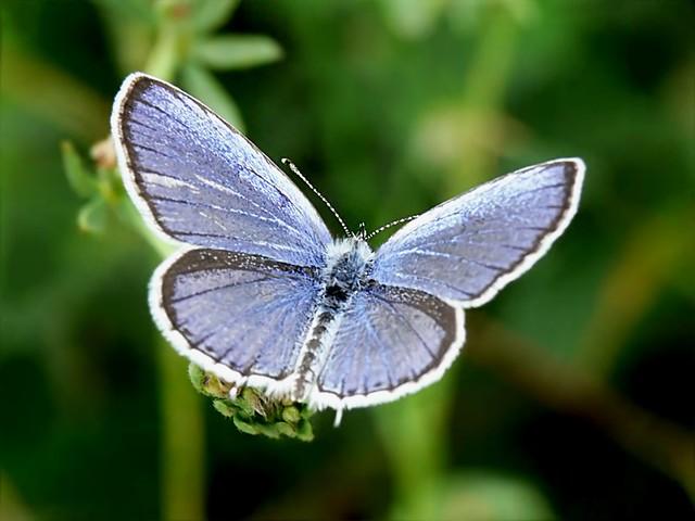 Short-tailed Blue - Cupido argiades