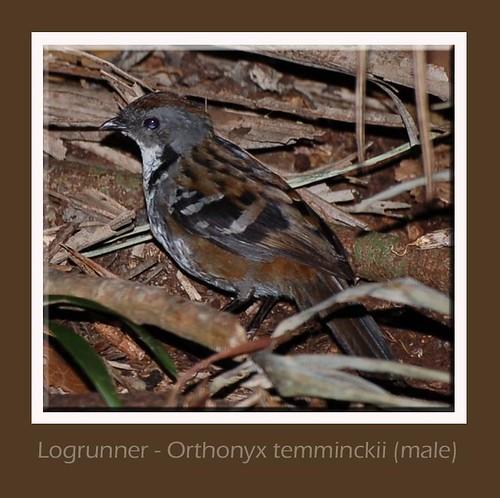 Logrunner (male)
