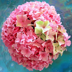Green on Pink (a m photography) Tags: pink flower hydrangea flowersonblue