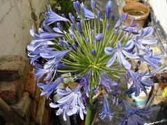 DSC00095.jpg (pleasantfamily) Tags: flower agapanthus