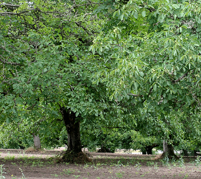 English Walnut Trees