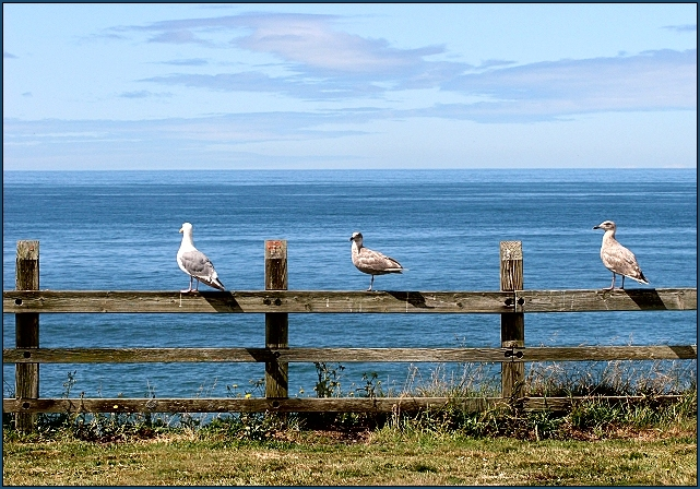 Watchful Gulls