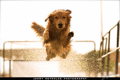 Jerry Reynolds Photography - Jump (Jerry Reynolds) Tags: dog dogs goldenretriever photography golden photo jump lab yellowlab unitedstates jerry contest retriever deck photoblog northdakota nd fargo nfc reynolds longjump dockdogs jerryreynolds jerryreynoldscom deckjumping