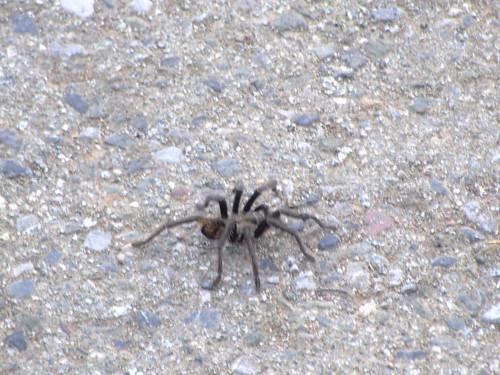Wild Tarantula