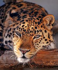 Relaxed leopard (Tambako the Jaguar) Tags: wood wild walter portrait cat zoo switzerland big nikon feline kitty leopard resting amur d300 pantherapardus
