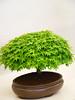 Bon! Sigh! (antonychammond) Tags: tree bonsai bonsaitree malvern rhs royalhorticulturalsociety firsttheearth malvernspringgardeningshow quotidiae