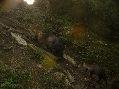 Takin (eMammal) Tags: takin wolong budorcastaxicolor geo:lon=30873 taxonomy:common=takin sequence:index=1 sequence:length=1 otherhoovedmammals taxonomy:group=otherhoovedmammals siwild:study=wolongcameratrapsurvey siwild:studyId=wolongbaitedsets geo:locality=china siwild:plot=wolong siwild:location=lwwl08811a siwild:camDeploy=chinadeploy194 geo:lat=103173 taxonomy:species=budorcastaxicolor siwild:date=200810021709000 siwild:trigger=wwl08811a01195 siwild:imageid=wwl08811a01195 sequence:id=wwl08811a01195 file:name=wwl08811a01195jpg sequence:key=1 siwild:region=china BR:batch=sla0620101119044543 siwild:species=12 file:path=dchinachinacameraimagedigitalafter2008wolongnaturereservewwl08811a01wwl08811a01195jpg