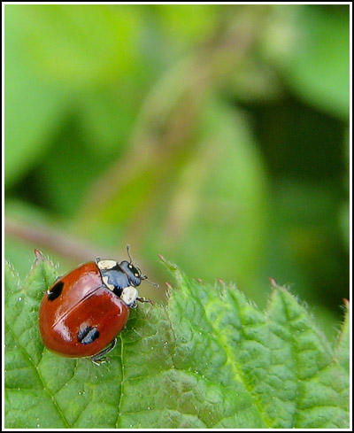 two spot ladybird copy