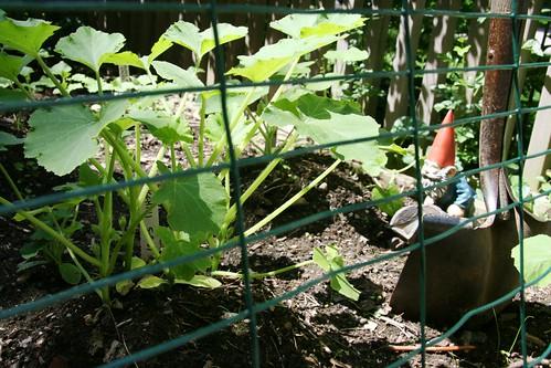 sunburst summer squash