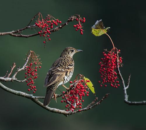 #13 虎鶇山桐 (Red Berries Frame the Bird)