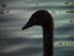 Evening scavenge... (Rashid Winter) Tags: birds canal swans lancaster darkwater inland waterways capernwray