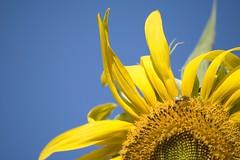 Bed head (RobertFrancis) Tags: flowers blue deleteme5 summer deleteme8 wallpaper sky flower deleteme macro deleteme2 deleteme3 deleteme4 deleteme6 deleteme9 deleteme7 yellow closeup petals deleteme10 bee clear sunflower bedhead torf