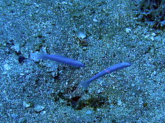 #119 blue goby () pair (Nemo's great uncle) Tags: geotagged underwater diving izu goby  hanae   westizu ptereleotris kumomi  ptereleotrishanae shizuokaprefecture   geo:lat=34726165 geo:lon=138744106 bluegoby