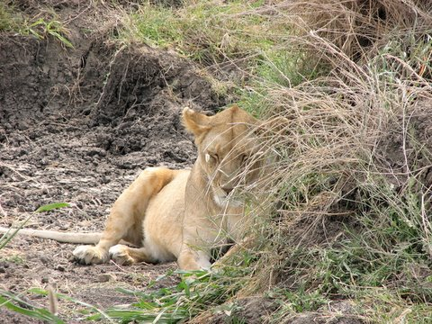Lioness getting some shade in the savannah