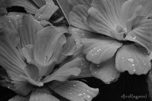 lilytree