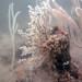Tiny Gorgonian coral