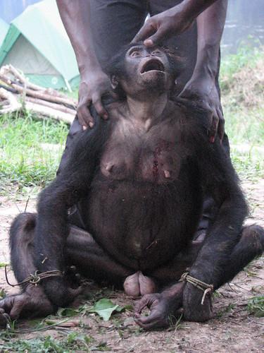 bonobo female August 07 Obenge
