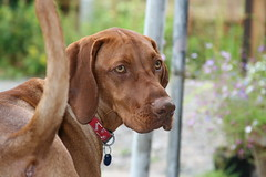 Woody the Vizsla (Woody Worth) Tags: dog cute dogs animal proud puppy happy puppies woody vizsla 100views 300views 200views elaine worth pup kev hungarian whitwick