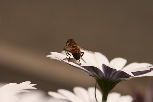 Hover Fly on Daisy 1